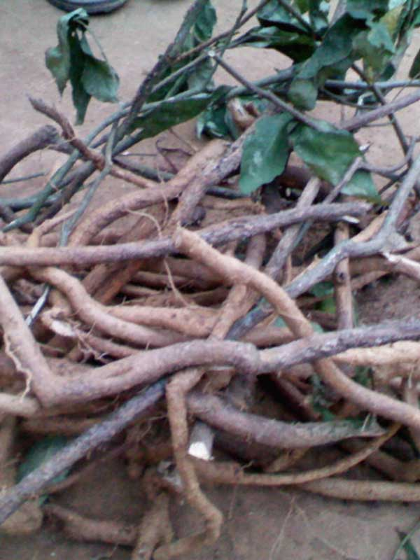 get-help-from-iboga-root