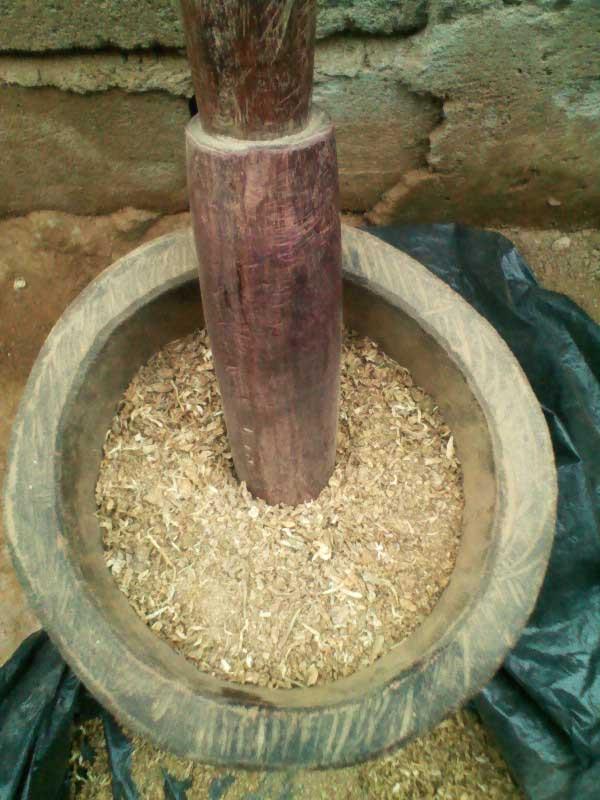 sacred-iboga-ground-root